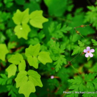 Herb Robert, Columbia Gorge, Oregon.