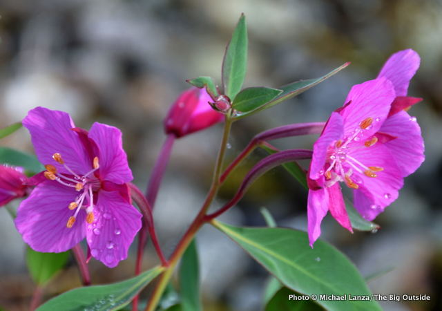 Broad-leaved willowherb, Glacier Bay, Alaska.