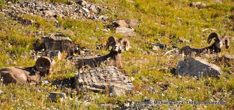 Bighorn sheep along the Highline Trail, Glacier National Park.